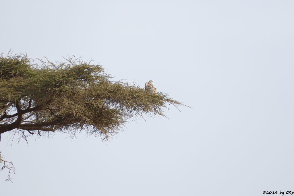Weißrückengeier (Zwerggänsegeier)