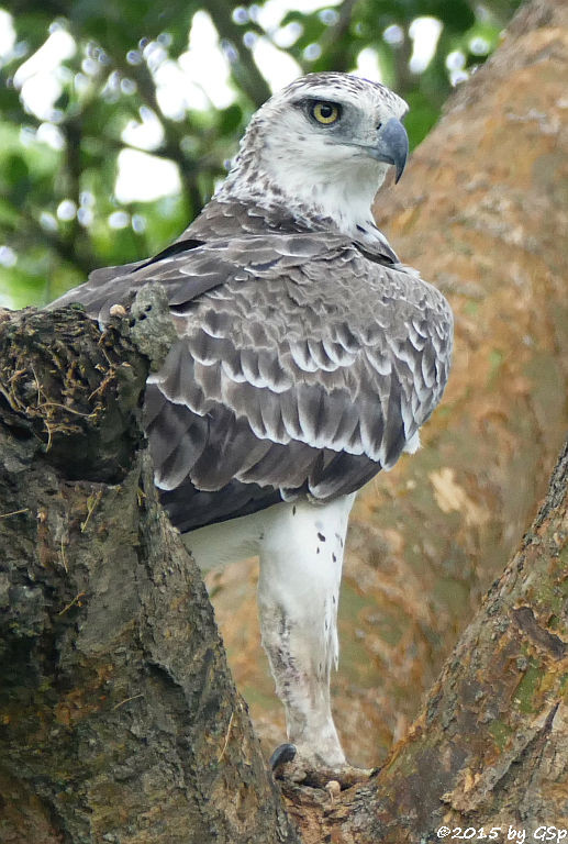 Kampfadler (Martial Eagle)