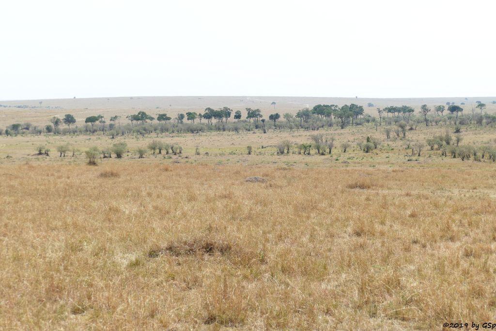 Weißbartgnu, Böhm-Steppenzebra (Grant-Zebra)