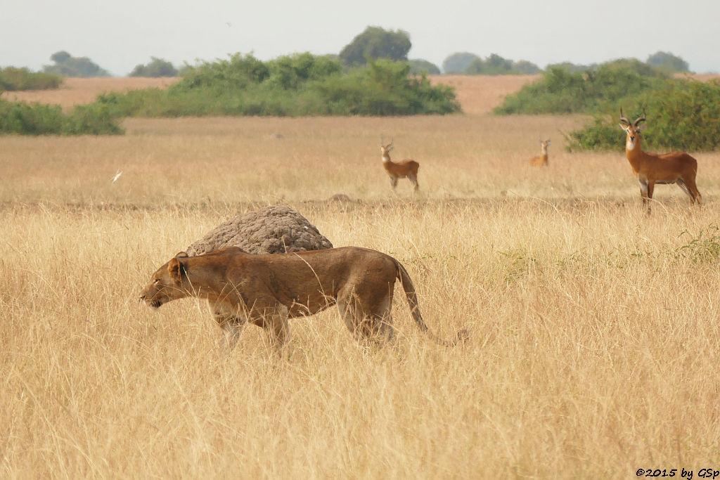 Löwe, Uganda-Grasantilope/Thomas-Wasserbock (Lion, Ugandan kob)