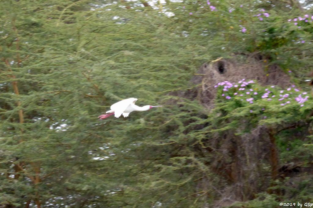 Rotgesichtlöffler (Afrikanischer Löffler, Rosenfußlöffler)