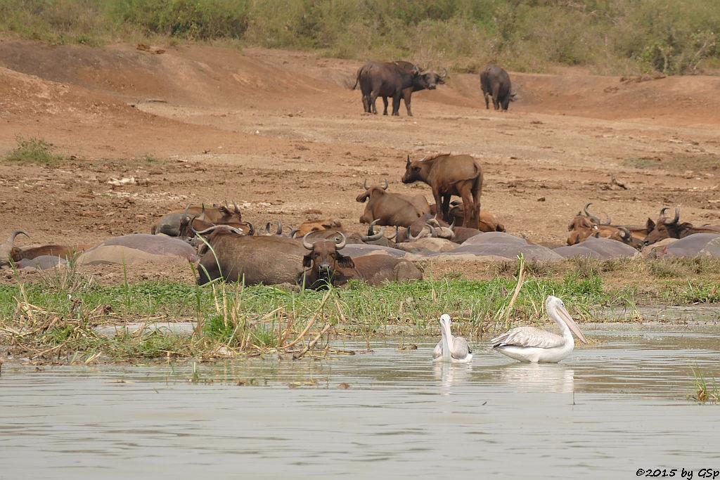 Rötelpelikan, Kaffernbüffel (pink-backed pelikan, Buffalo)