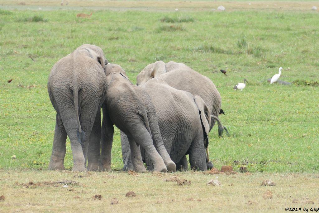 Elefant, Brauner Sichler, Pharaonenibis (Heiliger Ibis), Riedbock, Östlicher Silberreiher