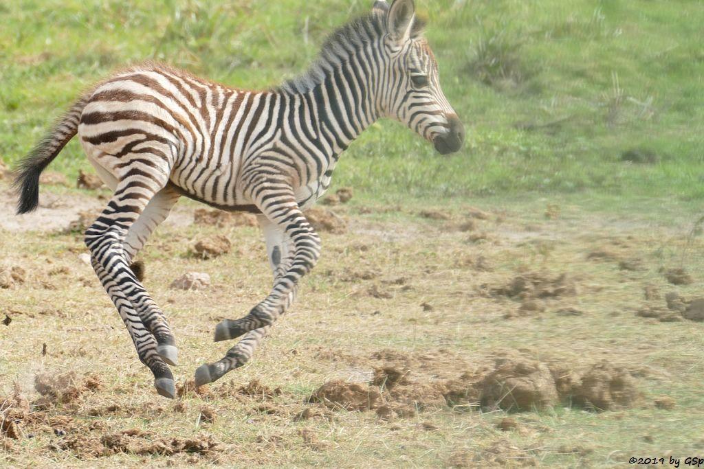 Böhm-Steppenzebra (Grant-Zebra)