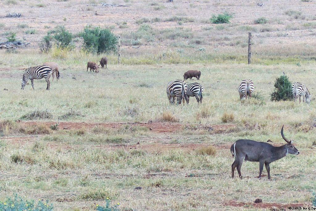 Böhm-Steppenzebra, Eritrea-Spießbock (-Oryx), Warzenschwein, Ellipsen-Wasserbock
