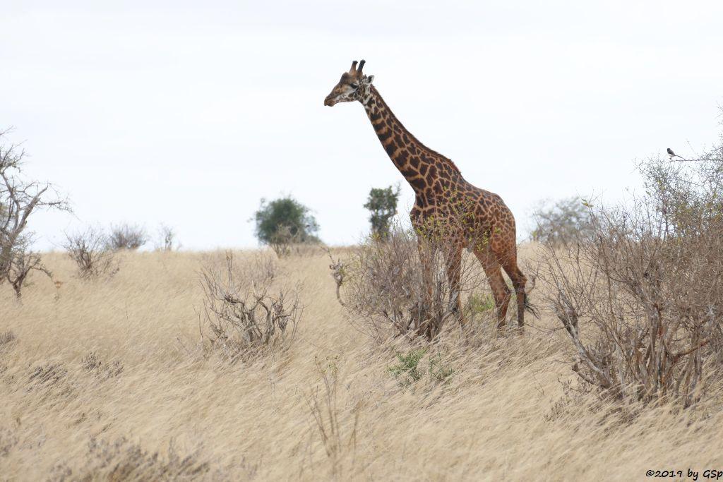 Massai-Giraffe, Langschwanzwürger
