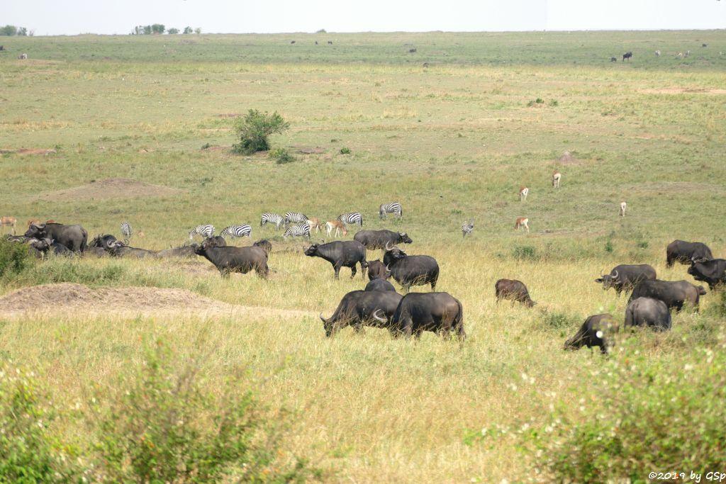 Kaffernbüffel (Schwarzbüffel), Böhm-Steppenzebra (Grant-Zebra), Kaama-Hartebeest