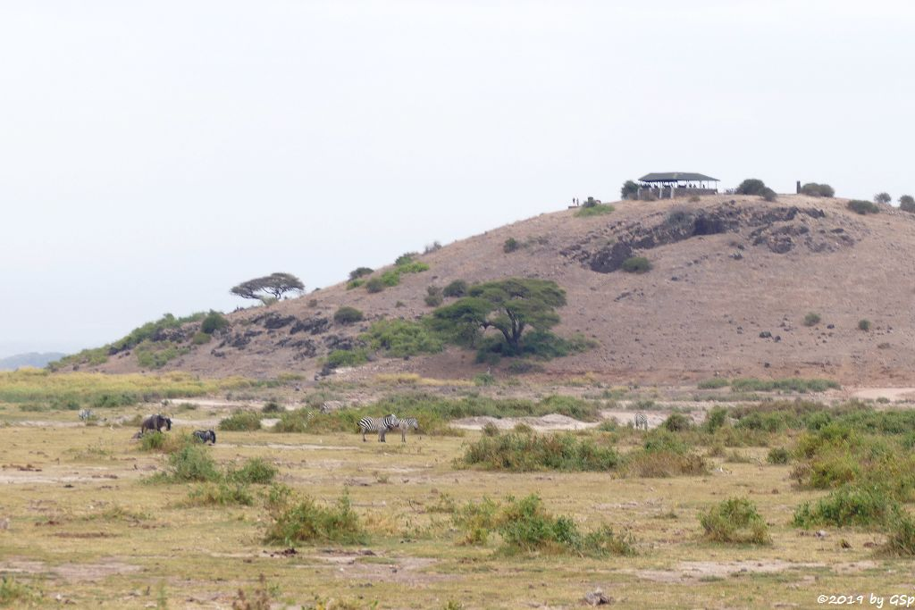 Östliches Weißbartgnu und Böhm-Steppenzebra (Grant-Zebra) vor dem Observation Hill