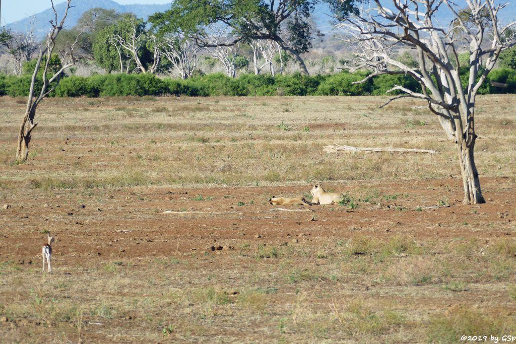 Grant-Gazelle, Massai-Löwe