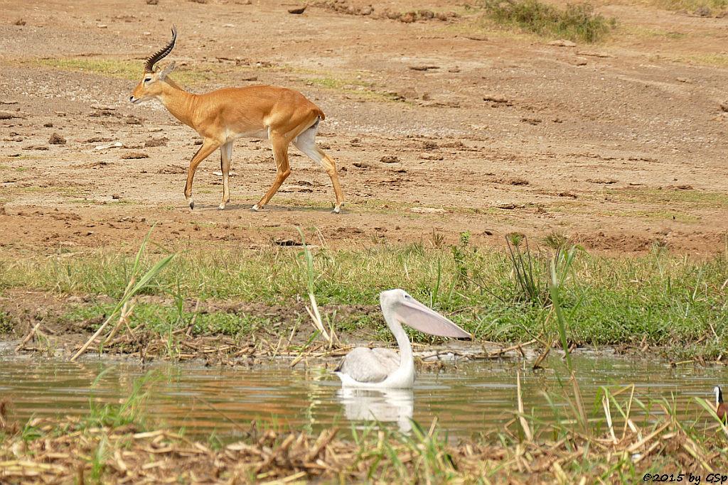 Rötelpelikan, Uganda-Grasantilope/Thomas-Wasserbock (Pink-backed Pelican, Ugandan kob)