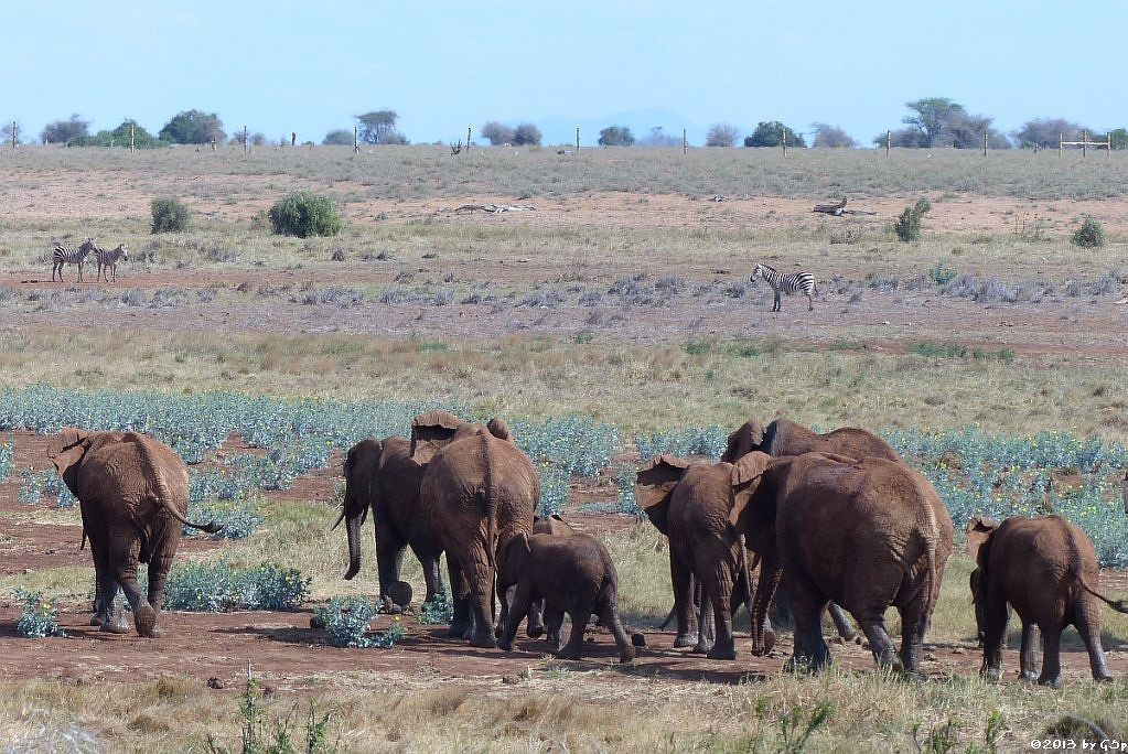 Elefant, Böhm-Steppenzebra