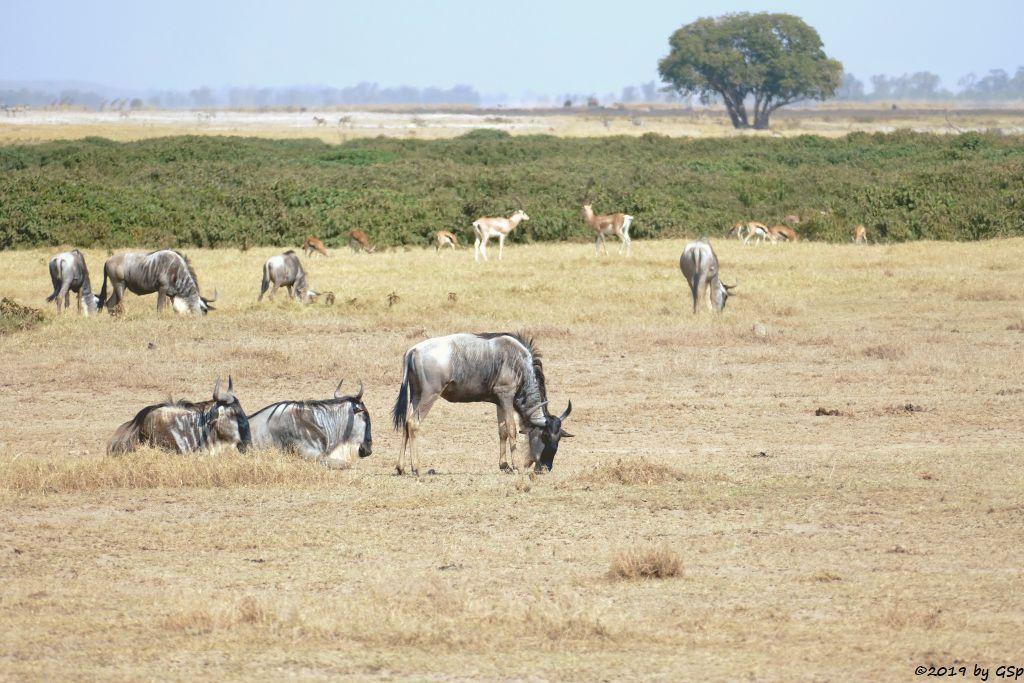 Östliches Weißbartgnu, Thomsongazelle, Grant-Gazelle