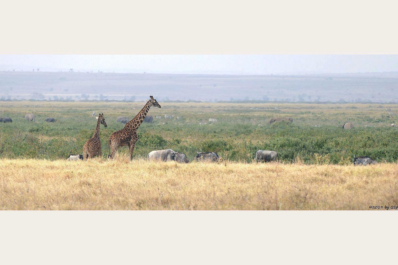 Massai-Giraffe,  Östliches Weißbartgnu, Elefant, Böhm-Steppenzebra (Grant-Zebra)