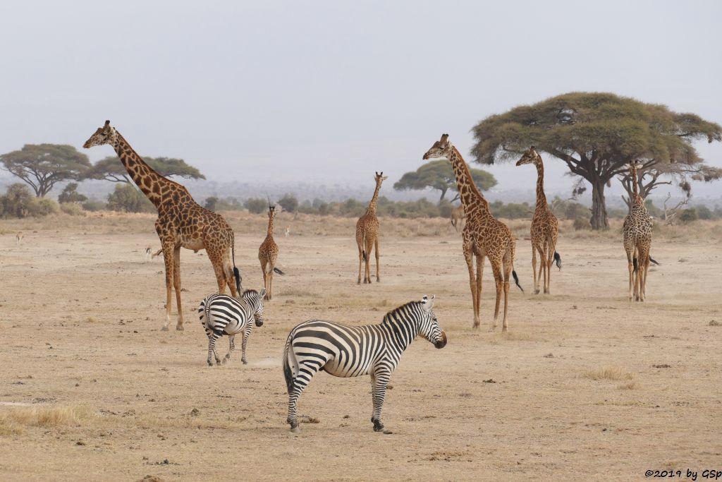 Böhm-Steppenzebra (Grant-Zebra), Massai-Giraffe, Thomsongazelle