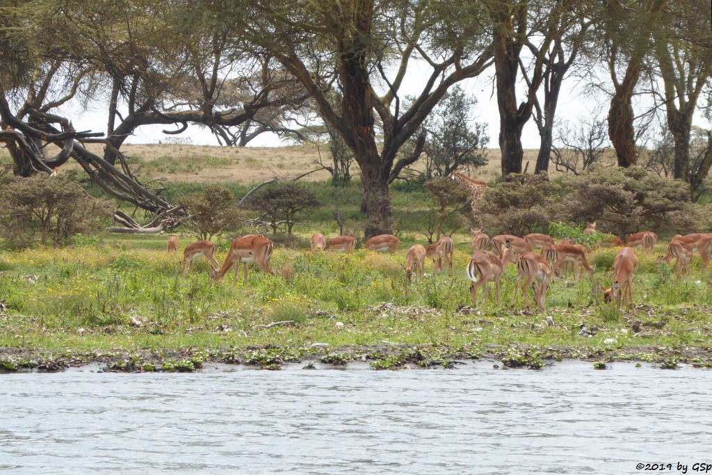 Gewöhnliche Impala (Schwarzfersenantilope), Massai-Giraffe