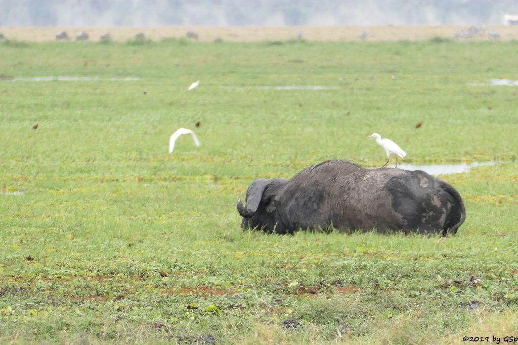 Kaffernbüffel (Schwarzbüffel), Östlicher Silberreiher