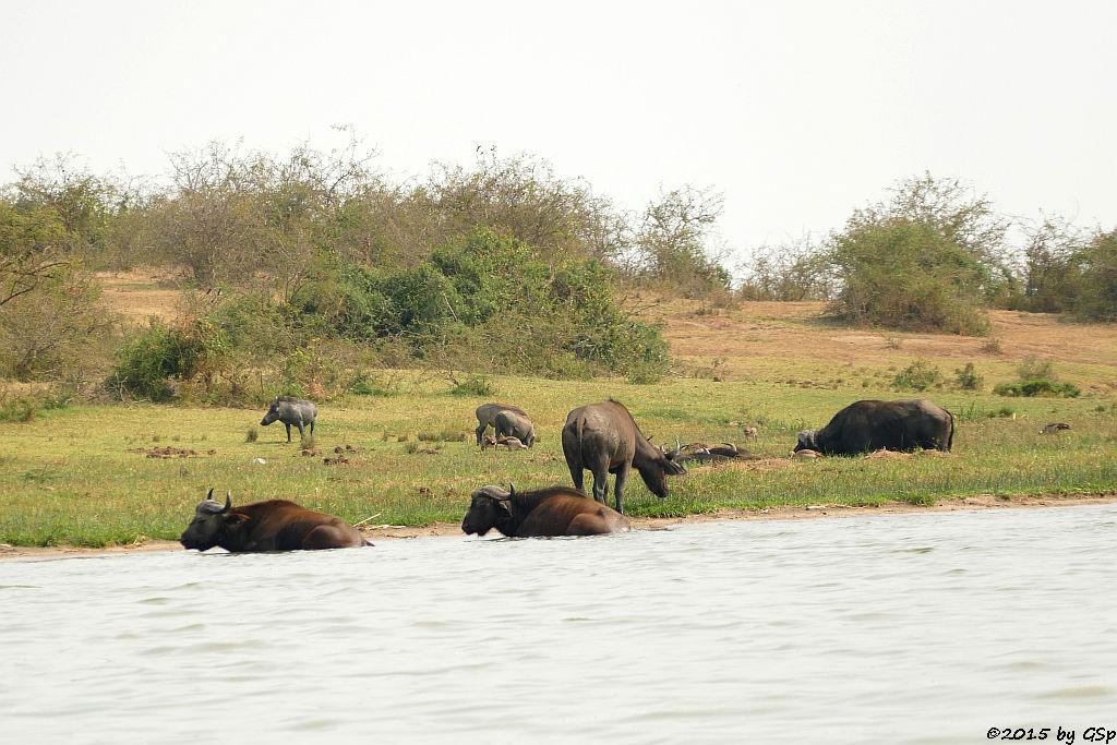 Kaffernbüffel, Warzenschwein (Buffalo, Warthog)