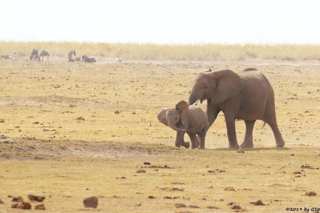 Elefant, Östliches Weißbartgnu