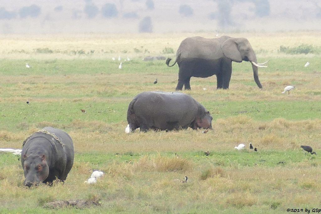Flusspferd, Kuhreiher, Waffenkiebitz, Brauner Sichler, Elefant