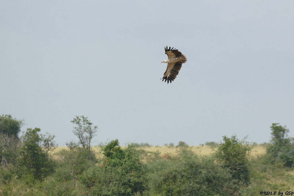 Palmgeier (Palm-nut Vulture)