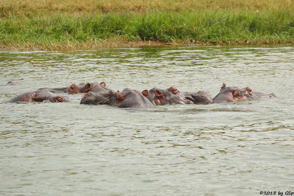 Flusspferd (Hoppopotamus/Hippo)