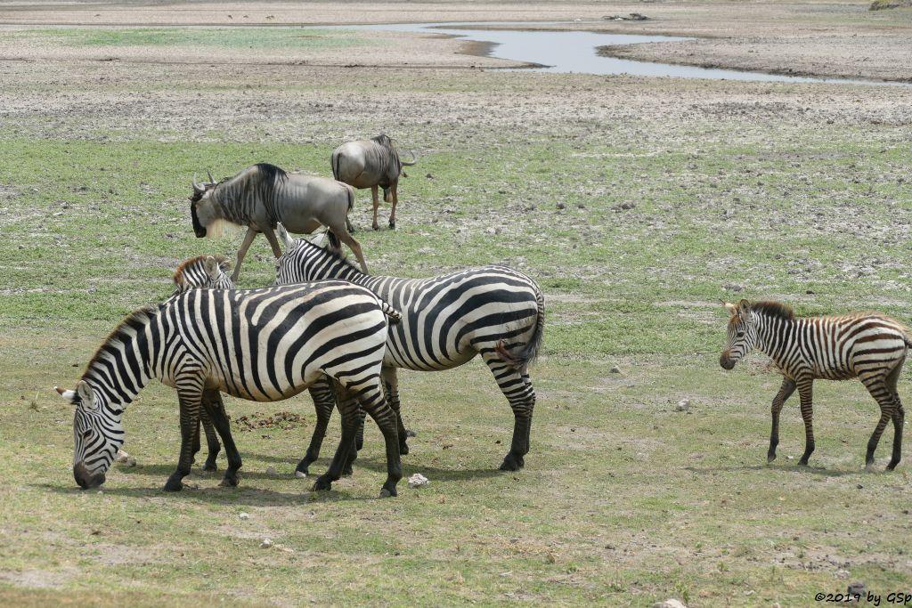 Böhm-Steppenzebra (Grant-Zebra), Östliches Weißbartgnu, Thomsongazelle