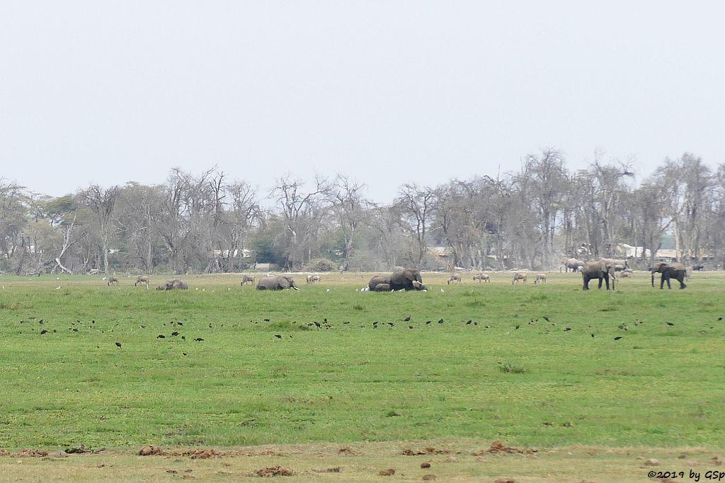Brauner Sichler, Elefant, Östliches Weißbartgnu