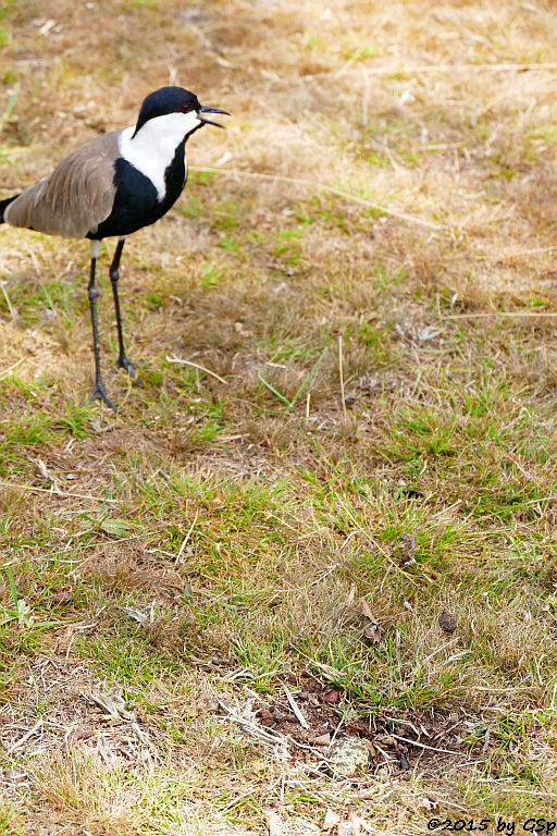 Spornkiebitz (Spore-winged Lapwing, Spore-winged Plover)
