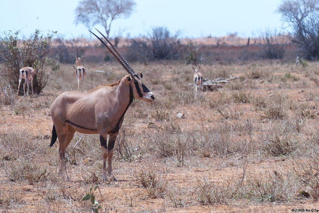 Eritrea-Spießbock (-Oryx), Grant-Gazelle