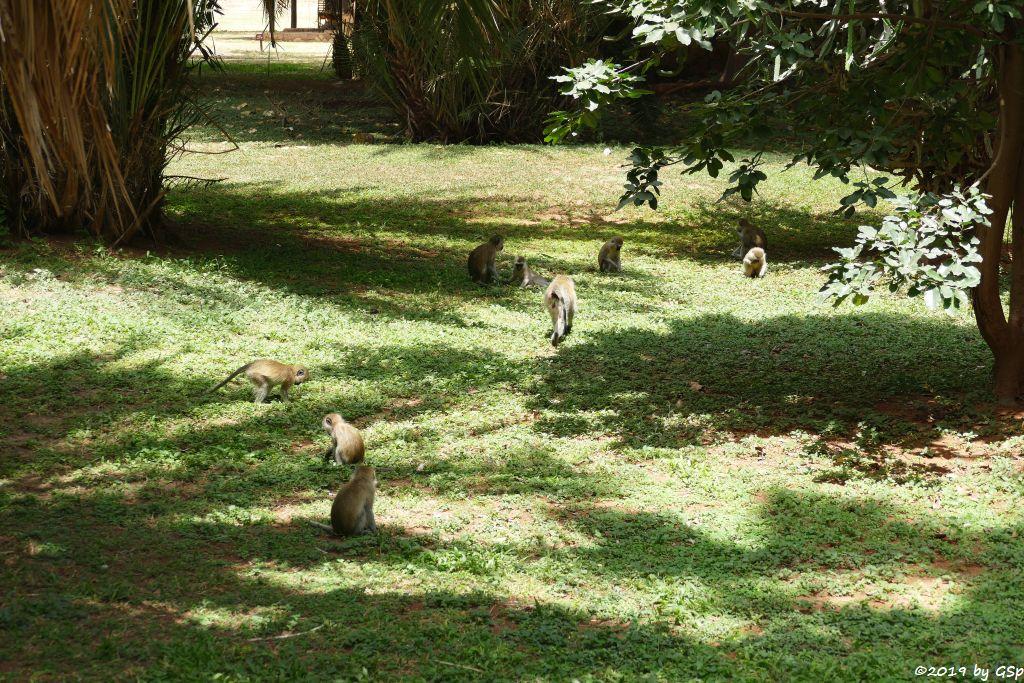 Südliche Grünmeerkatze (Vervetmeerkatze)