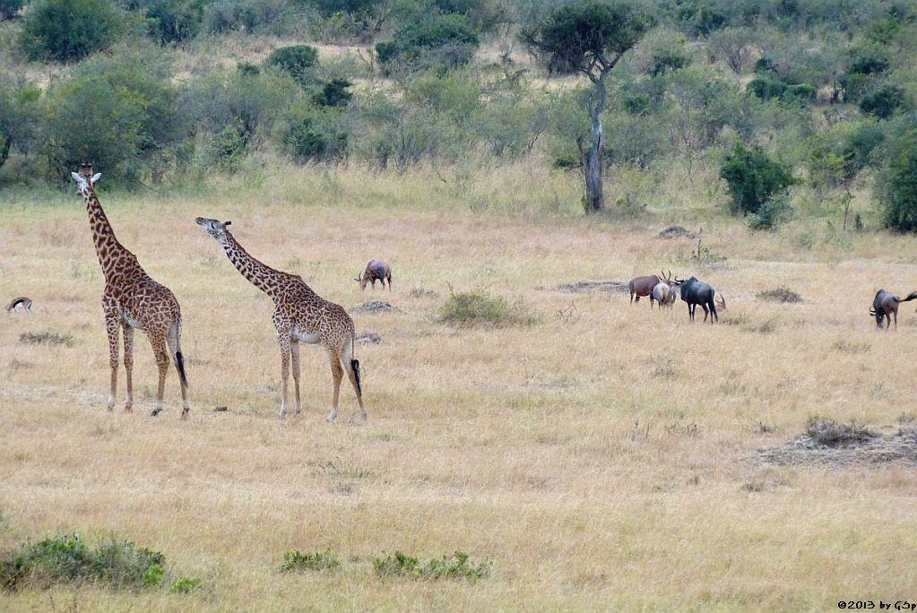 Thomsongazelle, Massai-Giraffe, Leierantilope, Weißbartgnu