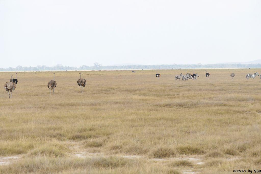 Massaistrauß (Rothalsstrauß), Böhm-Steppenzebra (Grant-Zebra)