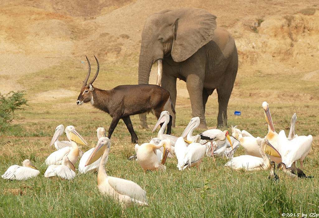 Rosapelikan, Defassa-Wasserbock, Afrikan.Elefant, Nimmersatt, Weißbauchkormoran (Great white Pelican, Waterbuck, African Elephant, Yellow-billed Stork, Greater (white-breasted) Cormorant)