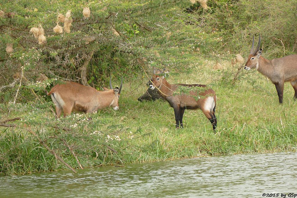 Defassa-Wasserbock, Anubis- (Grüner) Pavian (Waterbuck, Anubis Baboon/Olive Baboon)