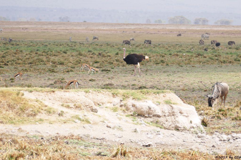 Thomsongazelle, Massai-Strauß, Weißbartgnu, Böhm-Steppenzebra