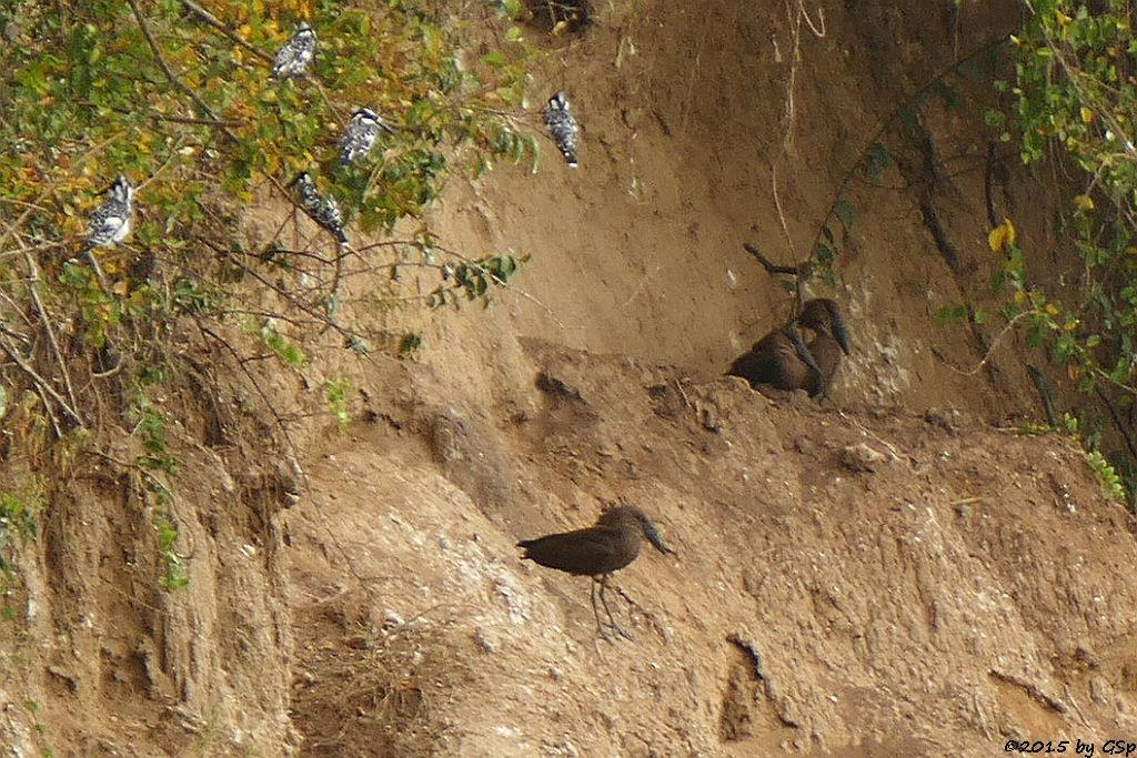 Graufischer, Hammerkopf (Pied Kingfisher, Hamerkop)