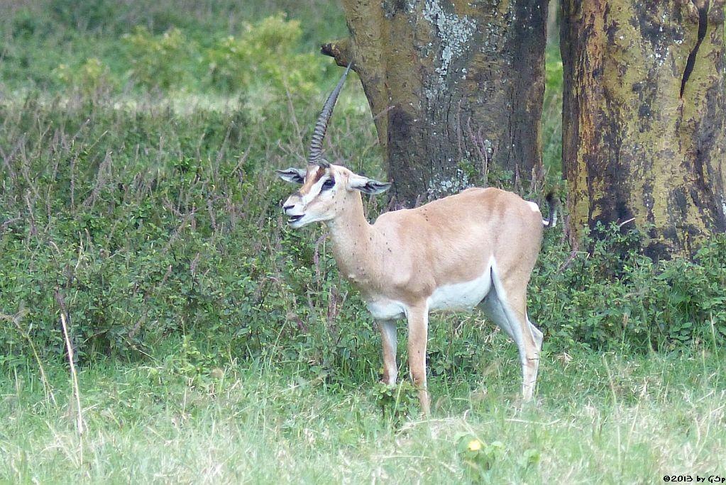 Grantgazelle