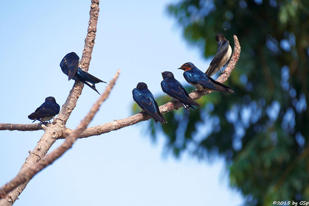 Angolaschwalbe (Angolan Swallow)