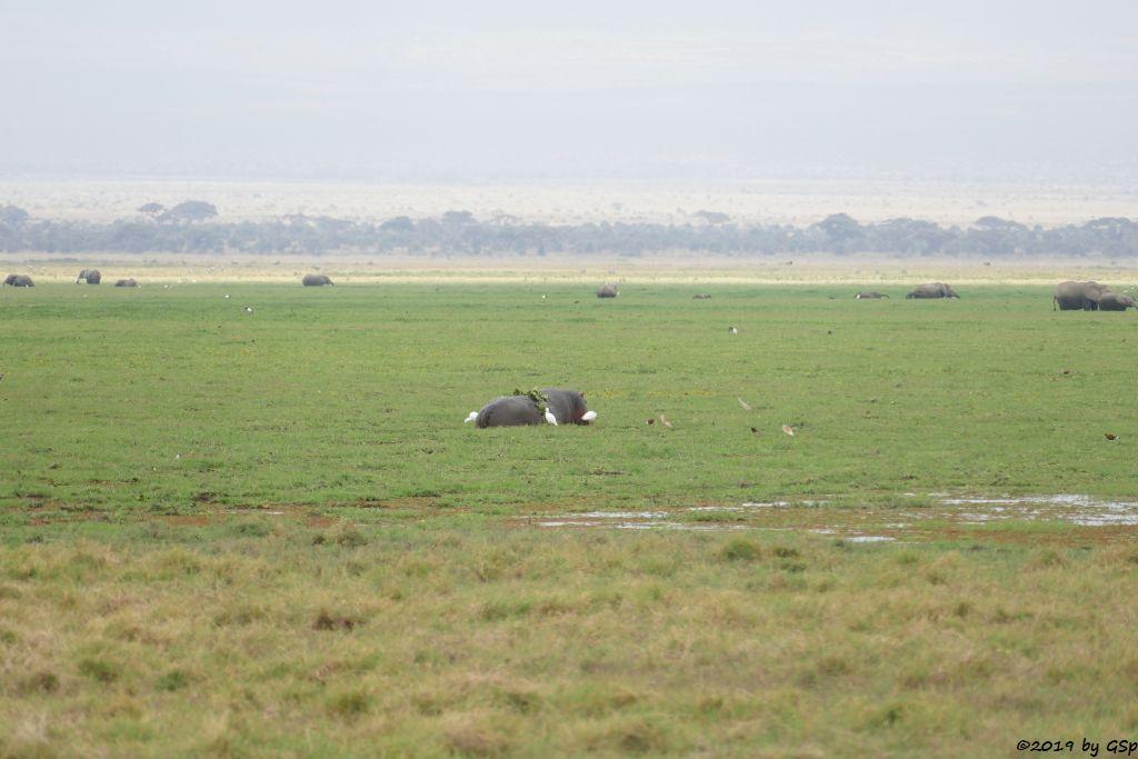 Elefant, Flusspferd, Kuhreiher, Madagaskar Rallenreiher, Elefant