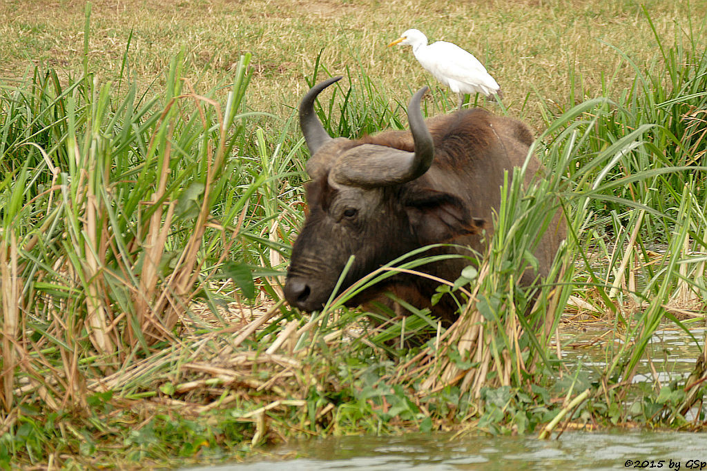 Kaffernbüffel, Kuhreiher (Buffalo, Cattle Ibis)