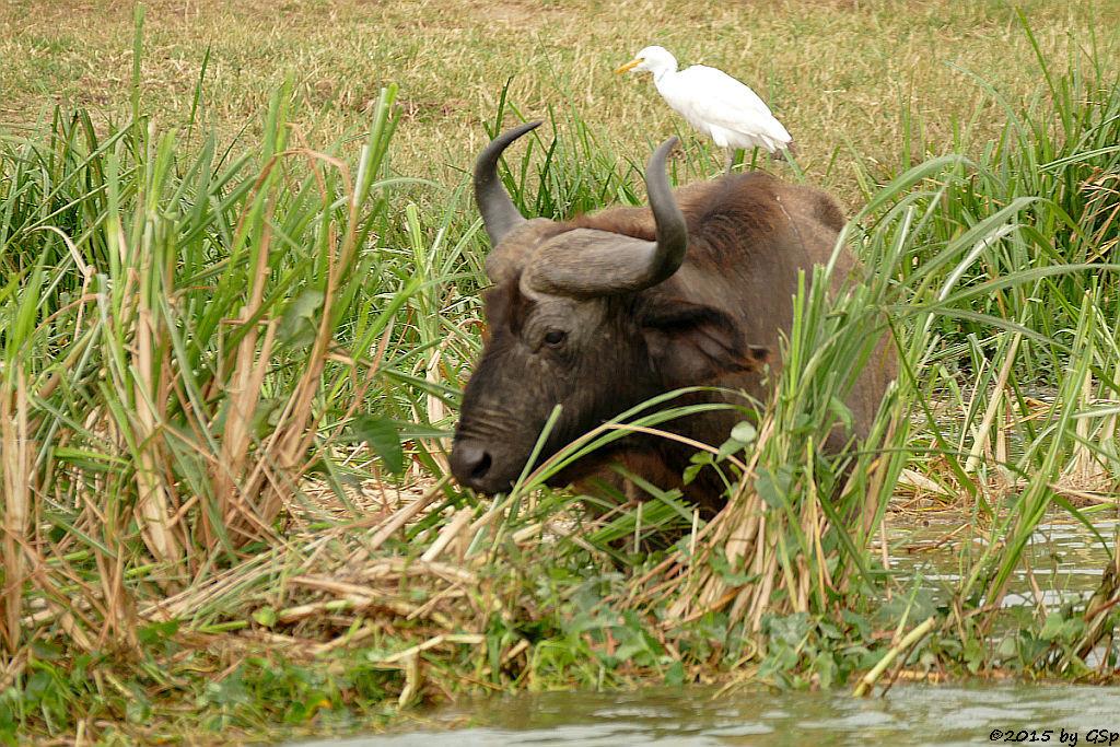 Kaffernbüffel, Kuhreiher (Buffalo, Cattle Ibis)
