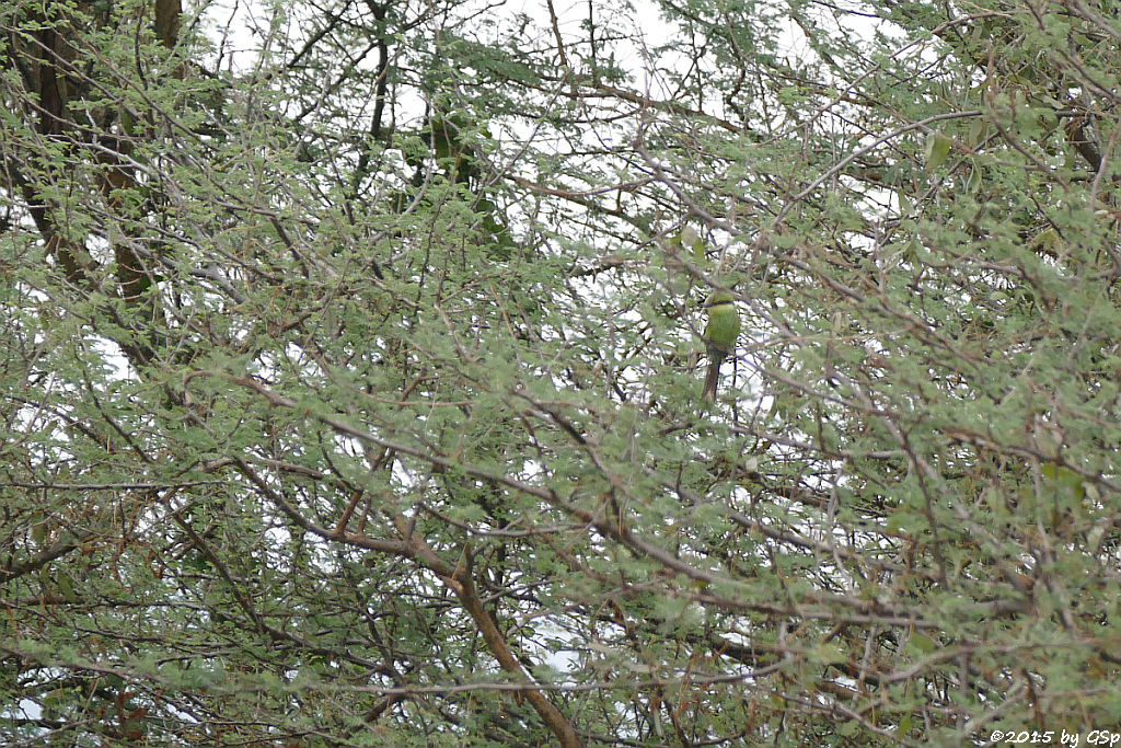Zwergspint (Little Bee-eater)