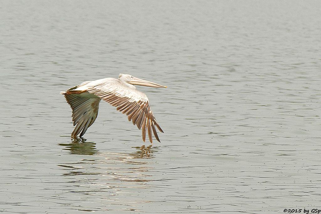 Rötelpelikan (pink-backed pelikan)