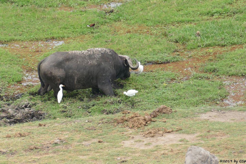 Kapbüffel (Kaffernbüffel, Schwarzbüffel), Kuhreiher, Blaustirn-Blatthühnchen (Afrikanische Blatthühnchen)
