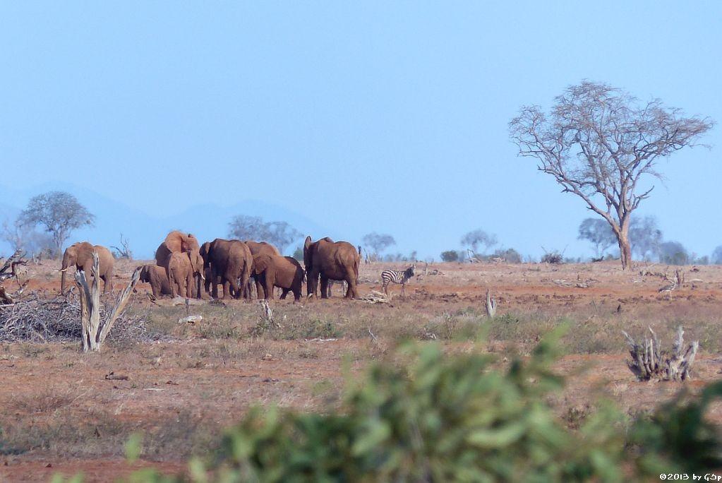 Elefant, Böhm-Steppenzebra, Riesen- (Kori-)trappe