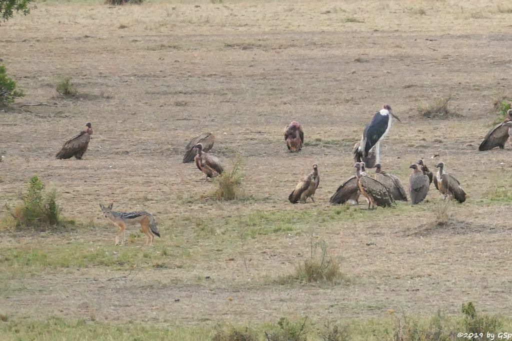Massai-Löwe, Schabrackenschakal, Weißrückengeier, Marabu