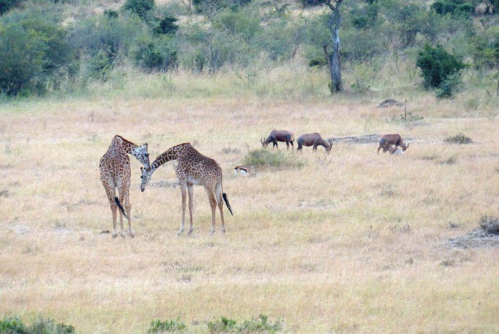 Massaigairaffe, Leierantilope (Topi)