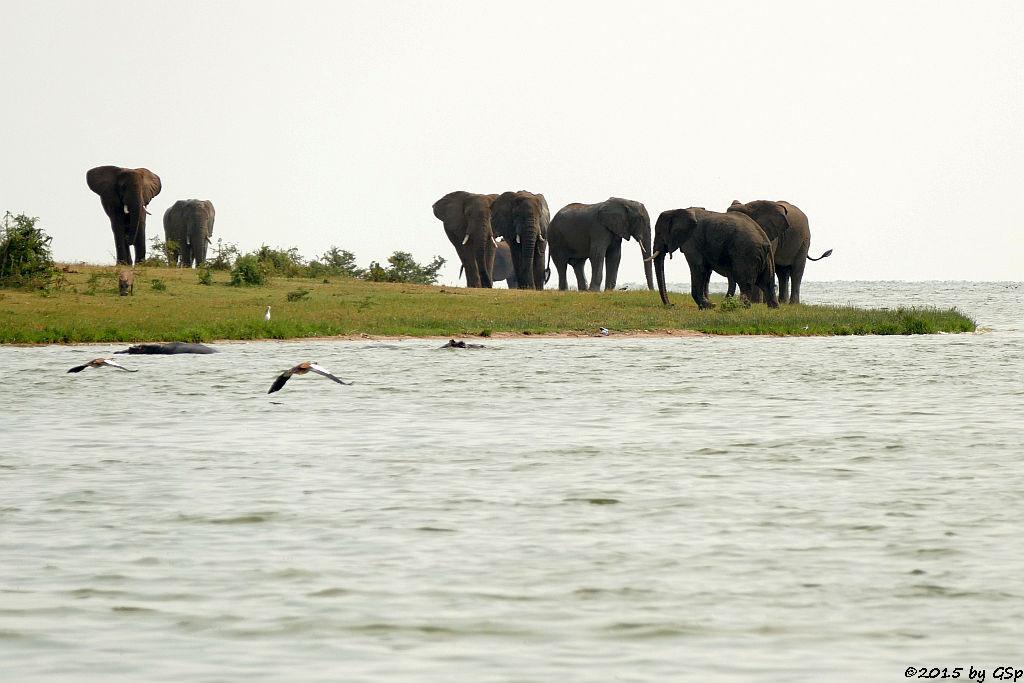 Nilgans, Flusspferd, Warzenschwein, Afrikanischer Elefant (Egyptian Goose, Hippopotamus/Hippo, African Elephant)