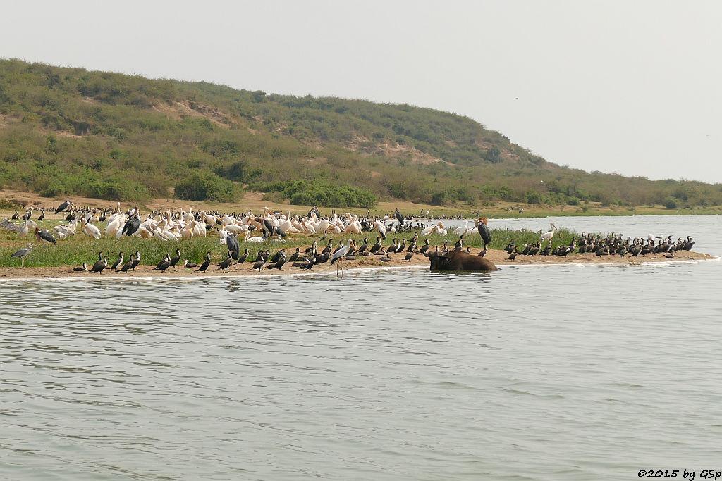 Graureiher, Weißbauchkormoran, Nimmersatt, Kaffernbüffel, Marabu, Rosapelikan ( Grey Heron, Greater (white-breasted) Cormorant, Yeloow-billed Stork, Buffalo, Yellow-billed Stork, Great white Pelican)