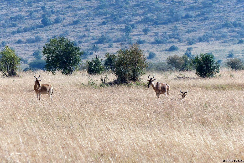 Kuhantilope (Hartebeest)